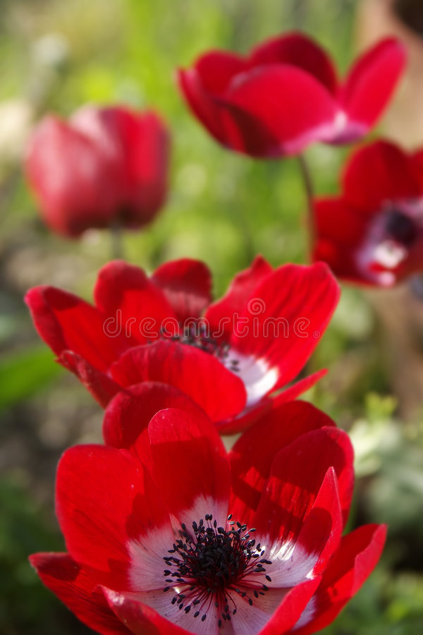 Field of Red Flowers royalty free stock photography