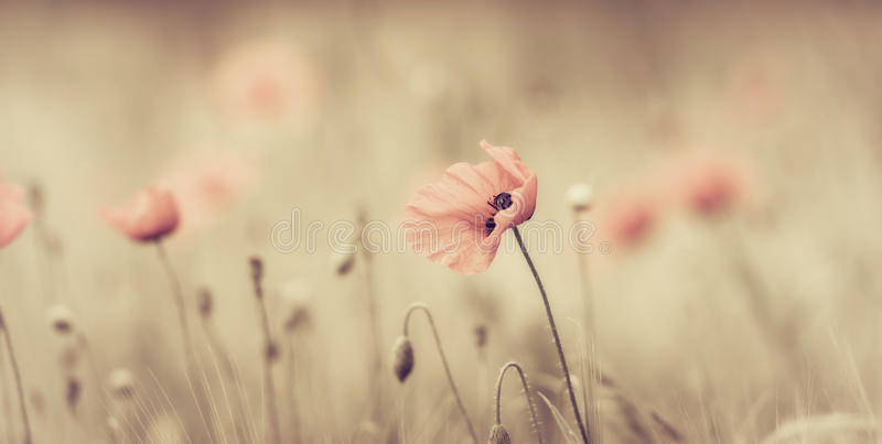 Field of red poppies royalty free stock photos