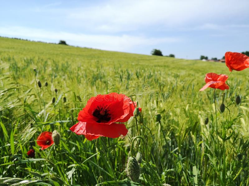 Field with red poppies stock photo