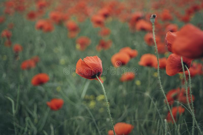 Field red poppies in blooming. Close up royalty free stock image