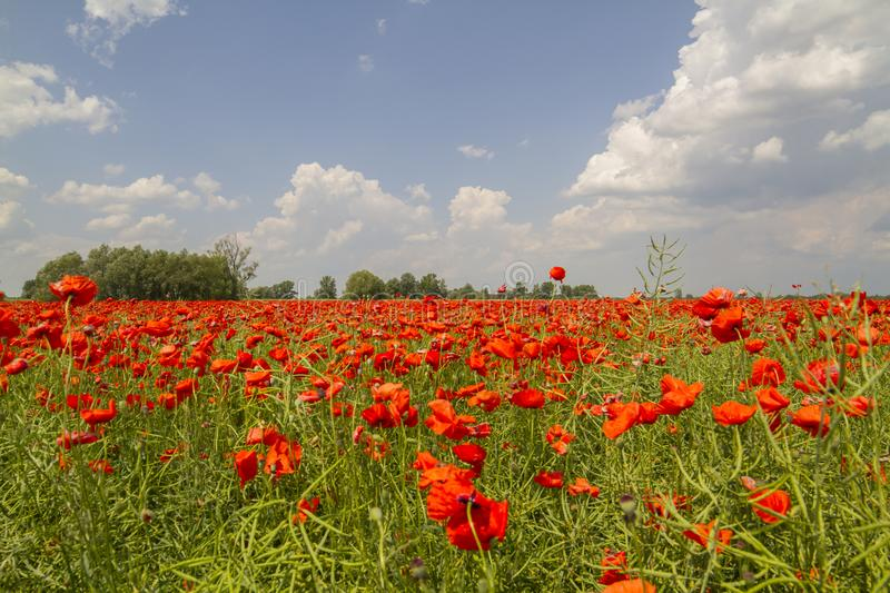 Field of red poppies. Blue sky, sea of red flowers, spaces, beautiful nature royalty free stock photos