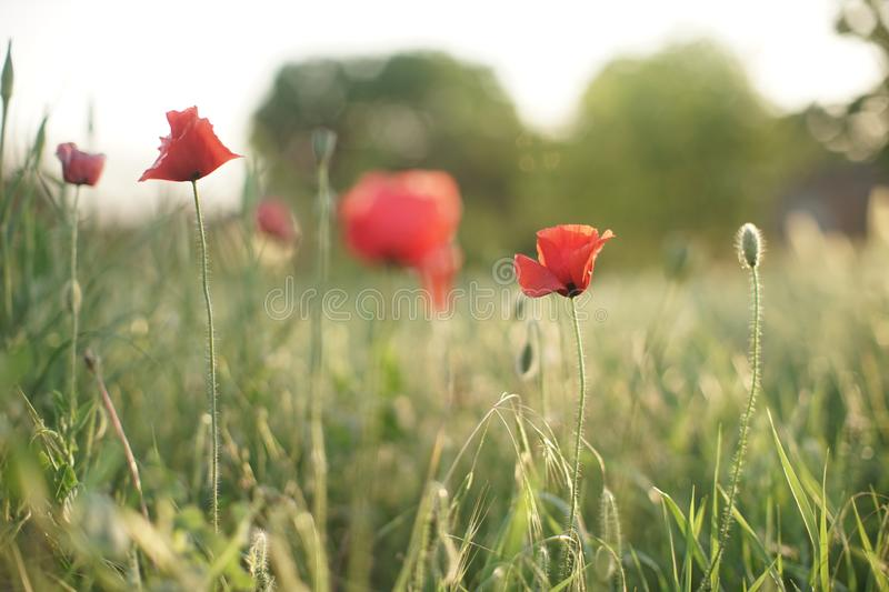 Field of red poppies in bright evening light.  royalty free stock photo