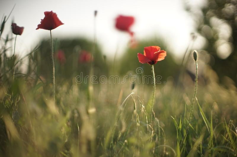 Field of red poppies in bright evening light.  royalty free stock image