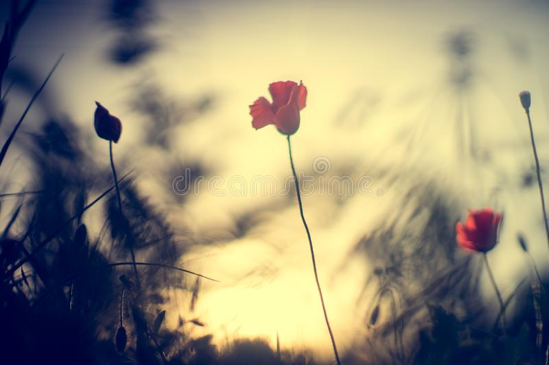 Field of red poppies in bright evening light.  royalty free stock photography