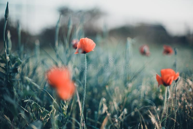 Field of red poppies in bright evening light.  stock image