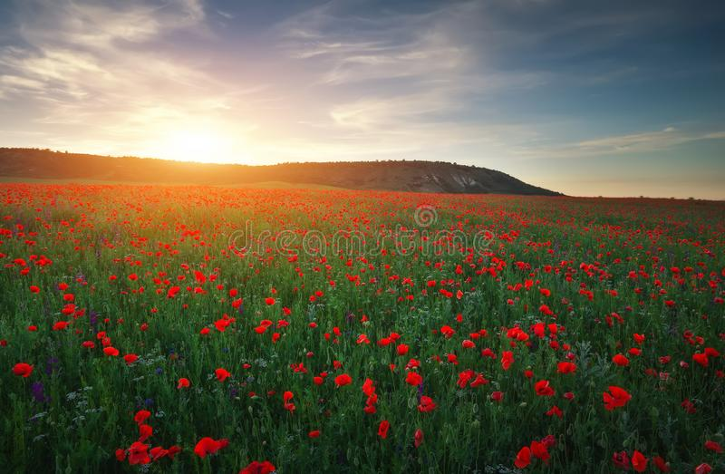 Field with red poppies, colorful flowers against the sunset stock photo