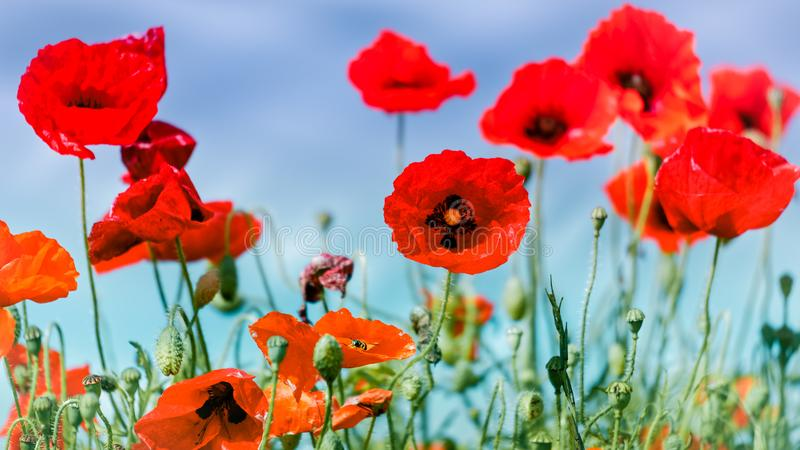 Field of Poppies in Sussex royalty free stock photos