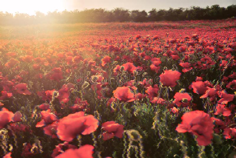 Field of red poppies in glitch effect. Blooming field of red poppies in the rays of the setting sun in glitch effect royalty free stock photo