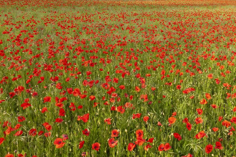 Field of red poppies no horizon. Field of red poppies with no horizon. Nature background with wild flowers stock photography