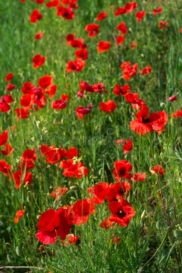 Field of red poppies royalty free stock images