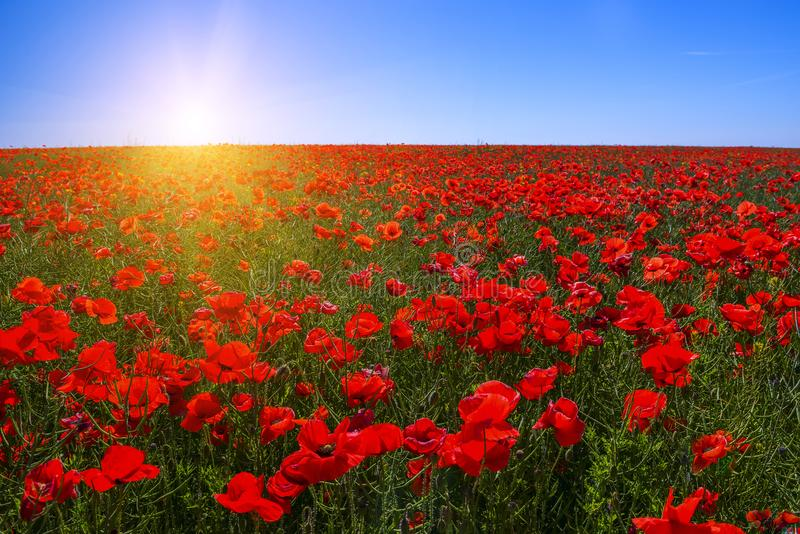 A field of red poppies to the very horizon and a bright sun. stock photography