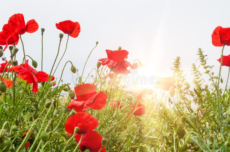 Field with a red poppy flowers in morning sunlight. Santorini island, Greece. Beautiful summer landscape. Small depth of sharpness royalty free stock photo