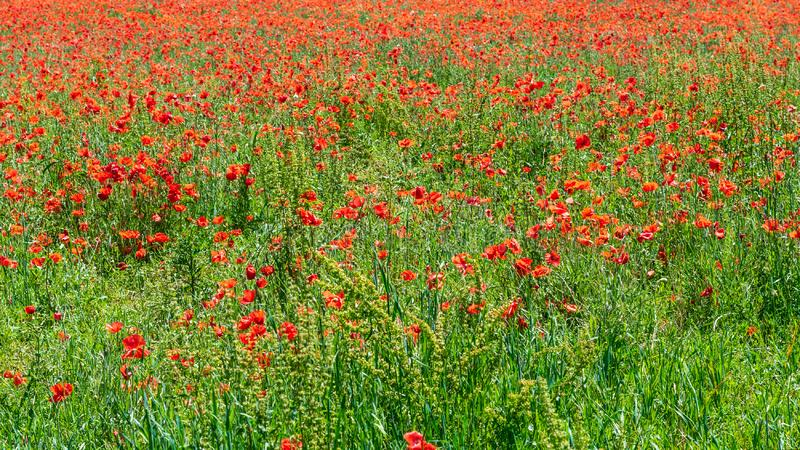 Field  of red tender poppies in spring. Background of field with wild red tender poppies in spring in countryside stock images