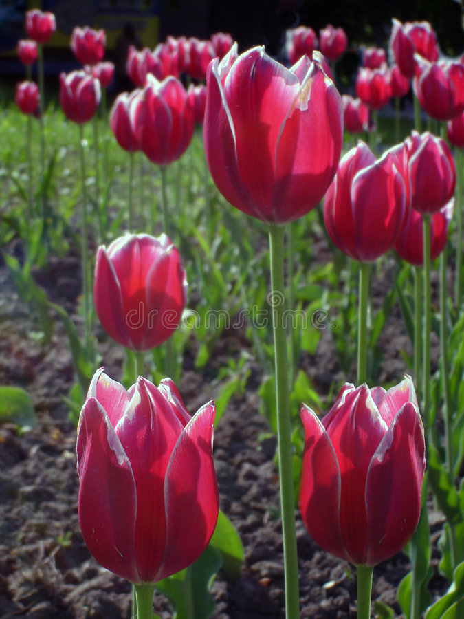 Field of red tulips royalty free stock photos