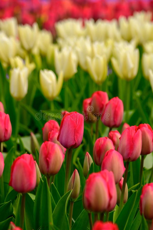 Field of red tulips in Holland , spring time colourful flowers stock images