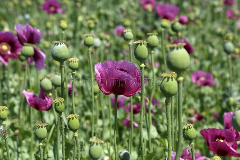 Field of red violett Poppy Flowers in Summer royalty free stock images