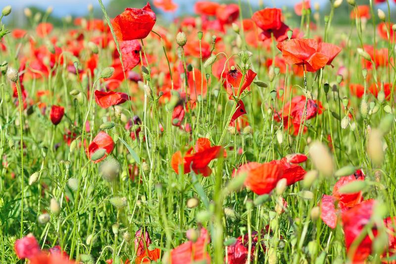 Field of red wild poppies stock photography