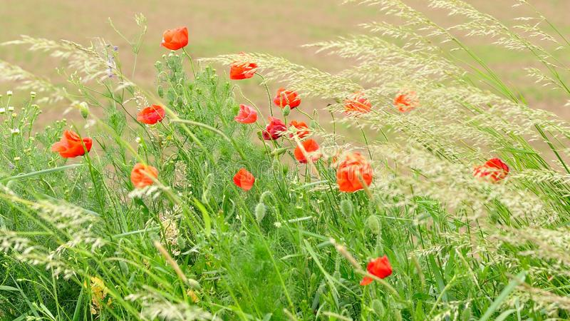 Field of red wild poppies stock photo