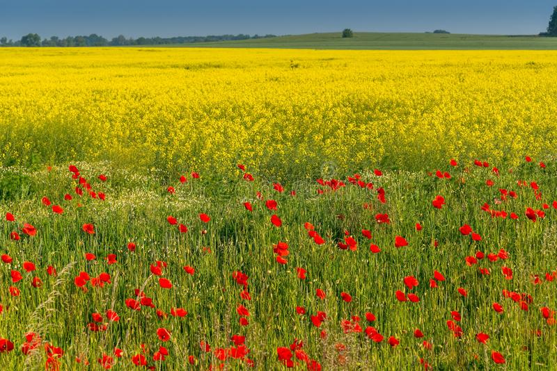 Field of red wild poppies royalty free stock photo