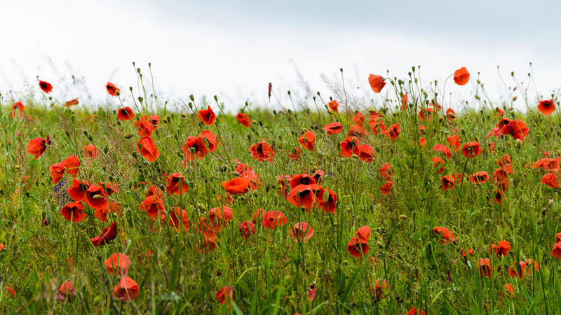 Field of red wild poppies. 9x16 stock photos