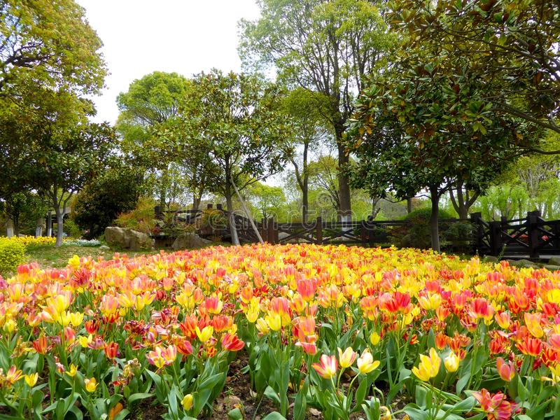 A field of red and yellow tulips blooming stock photo