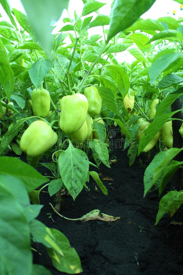 Field of ripe Bell pepper close-up. Rural landscape. The concept of a rich harvest. Concept art design royalty free stock photo