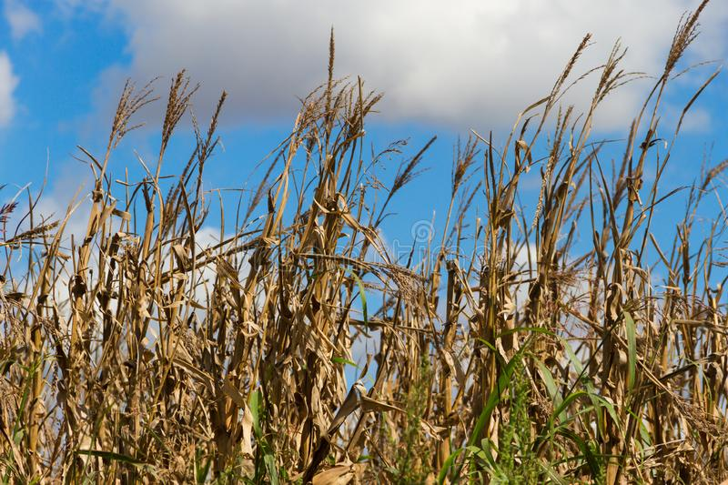 Field with ripe corn plantation to harvest stock photo
