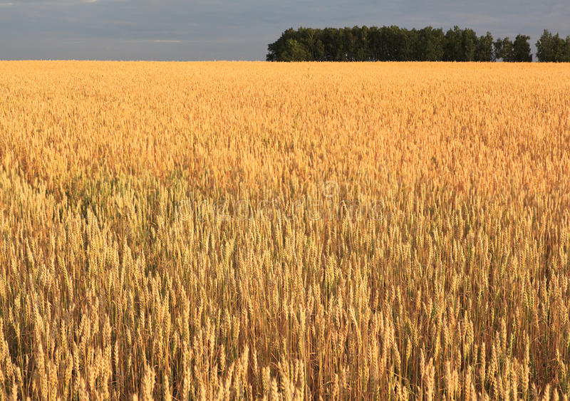 Download Field of ripe wheat. stock photo. Image of russia, landscape - 28778314