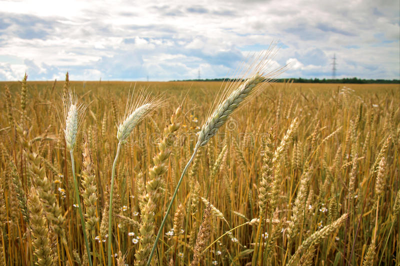 Field of ripe wheat in the countryside stock image