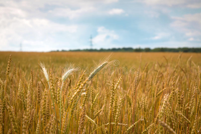 Field of ripe wheat in the countryside royalty free stock image