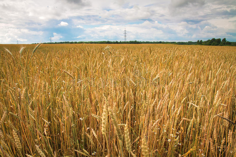 Field of ripe wheat in the countryside stock images