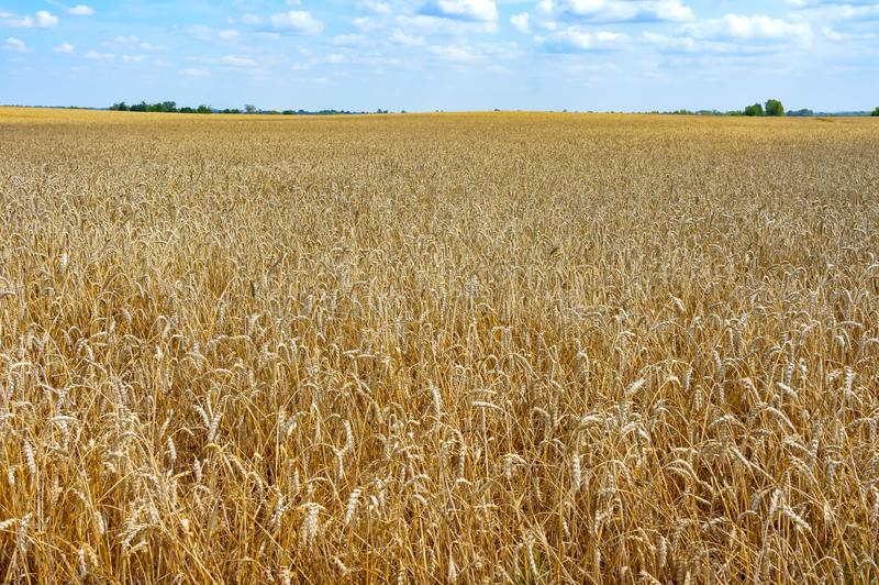 The field of ripe wheat, ripe ears in the field royalty free stock images