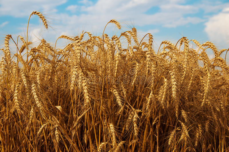 Field of ripe wheat. Forthcoming harvest to harvest. royalty free stock image