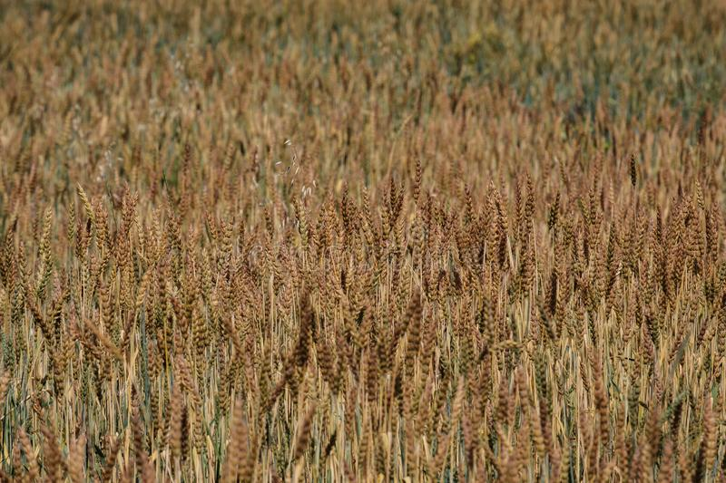 Field of ripe wheat, ripe grain grown for harvest royalty free stock photos