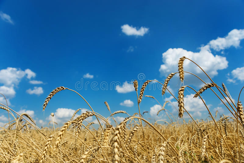 Field of ripe wheat and sky with clouds stock images