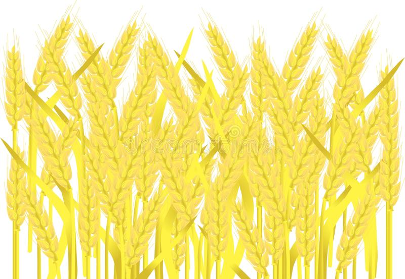 Field of ripe yellow wheat ears on white, painting, vector. Illustration vector illustration