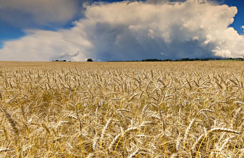 Field with ripening wheat, Latvia royalty free stock photos
