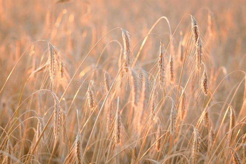 Field ripening wheat at sunset. Agriculture and harvest royalty free stock images