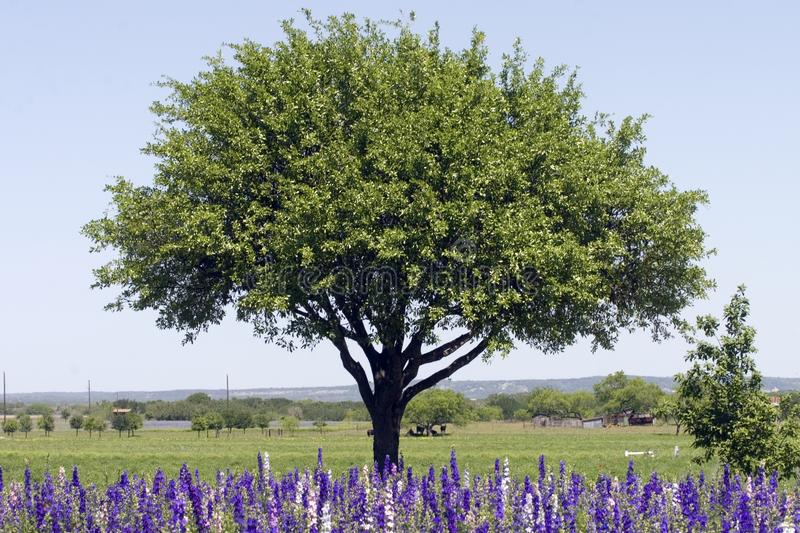 Field of Rocket Larkspur in front of tree royalty free stock images