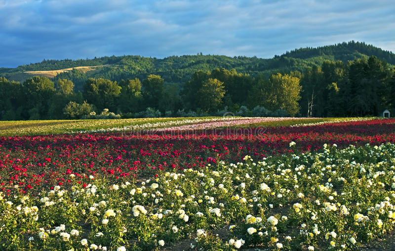 Download Field of roses, Oregon stock photo. Image of husbandry - 35332352