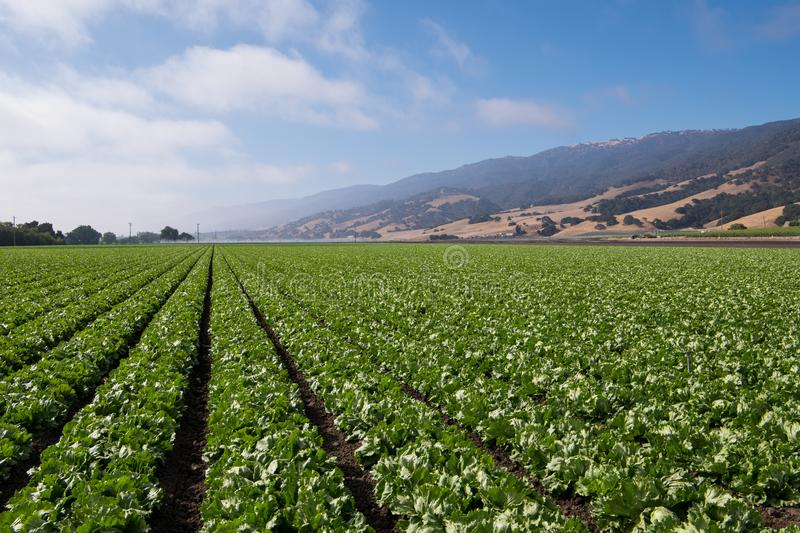 A field with rows of lettuce stock image
