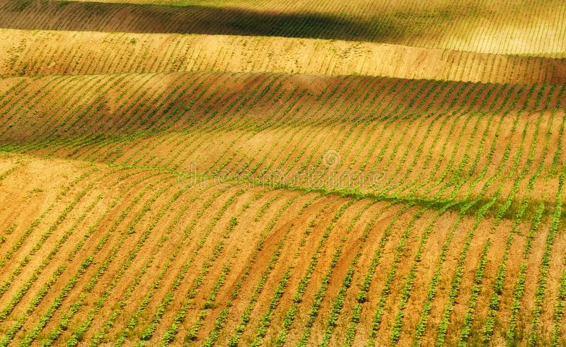 Field. rows of sprouted agricultural crops. picturesque hilly field. agricultural field in spring. Spring field. rows of sprouted agricultural crops. picturesque stock image