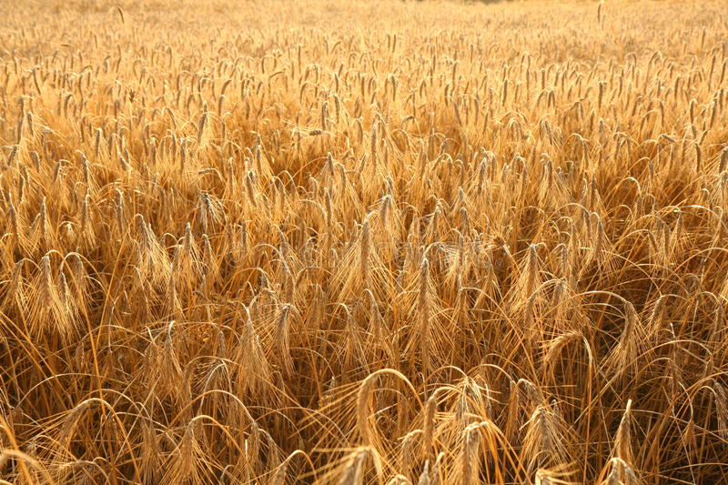 Download Field of rye stock image. Image of component, plant, farming - 15410915