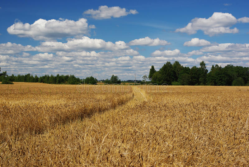 Field of rye. Photo by road extending through a field of rye royalty free stock photos