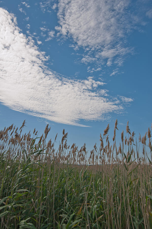 Field in the Rye. Blue sky with clouds royalty free stock photo