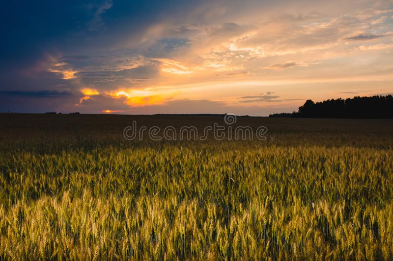 Field of rye and cloudy sky at sunset royalty free stock image