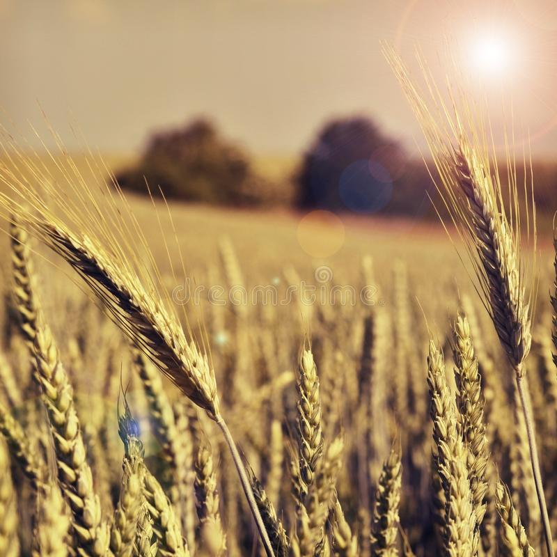 a field rye filled with sun royalty free stock photos