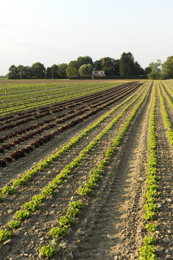 Field of salads. Agricultural fields of green and red salads stock photography