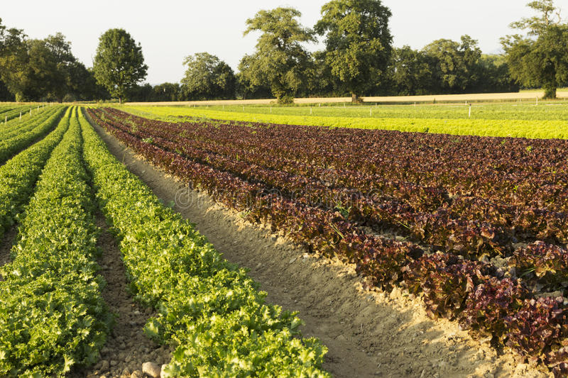 Field of salads. Agricultural fields of green and red salads royalty free stock photos