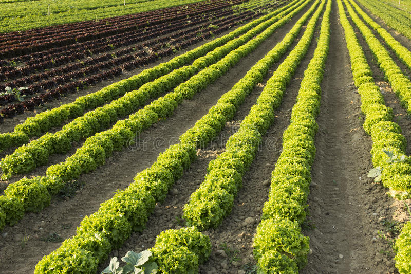 Field of salads. Agricultural fields of green and red salads royalty free stock photography